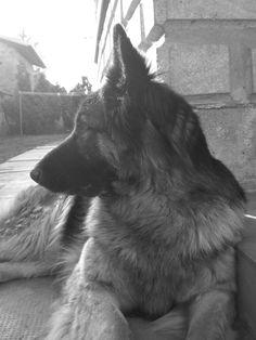 German Shepherd# Blum :)