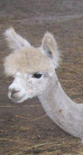 How to prep Alpaca fleece for Spinning: Copyright 2012 Rose Mogerman and Alma Park Alpacas LLC