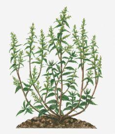Erva-de-Santa-Maria. A calda desta erva é indicada para o combate às infestações de cochonilha no jardim. Amoleça 200 gr de erva-de-santa-maria (Dysphania ambrosioides) em um l de água fria por seis horas. Na sequência, aperte bem as folhas para extrair o suco. Dilua o extrato obtido em 5 l de água limpa. Pulverize sobre as partes atacadas uma vez por semana, sempre sob sol ameno, até que a praga seja eliminada. Fonte: Harumi Hojo. Fotografia: Getty Images.