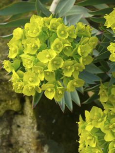euphorbia - perfect for adding colour to the garden, and a great cut flower for adding bright foliage to arrangements