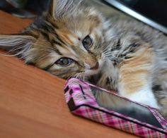 Cell Phone Kitty...