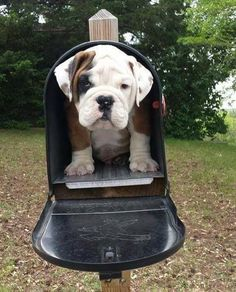 English Bulldog Please let there be one of these in my mailbox! English Bulldog Please let there be one of these in my mailbox! English Bulldog Pictures, English Bulldog Puppies, English Bulldogs, French Bulldogs, Cute Funny Animals, Cute Baby Animals, Funny Dogs, Cute Puppies, Cute Dogs