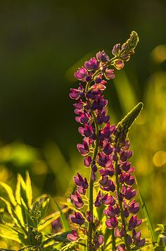 Curly Lupines