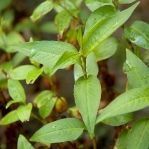 Vietnamese Herbs and Asian Herbs - Growing, Recipes, Cooking and Storing