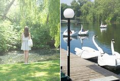 Toronto Island swan