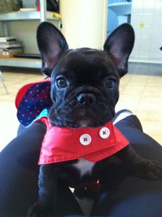 Cute french bulldog in a raincoat. Follow me on Instagram for more pictures of me! @cora_the_frenchie