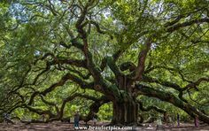 Angel Oak John's Island, SC Majesty reaching out in all directions towards humanity...something sacred about this tree.