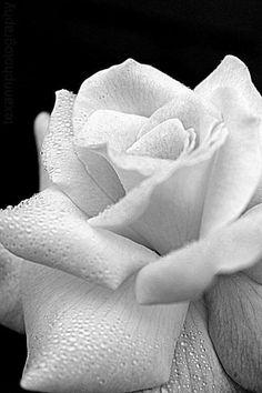 White Rose ❤❤❤