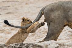 Comedy wildlife photo awards 2019 Sarah Skinner winner in Botswana Wild Animals Pictures, Funny Animal Photos, Funny Images, Funny Photos, Funniest Photos, Comedy Wildlife Photography, Photography Contests, Photography Awards, Wild Photography
