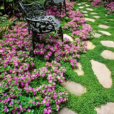 To fill spaces between pavers and stepping stones, choose plants that stay short and thrive in gravel or sandy soil. The flagstone path shown here has a lush look, thanks to baby's tears (Soleirolia soleirolii).
