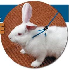 How to Teach Your Rabbit to Walk on a Leash
