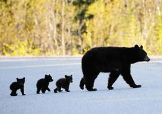 """Motorists SLOW Down Please! Bear Mom, With Her Triplet Cubs, Crossing The Road…"