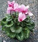 Ciclamen Vegetables, Gardening, Gardens, Shade Plants, Flowering Plants, Flower Template, Irrigation, Planters, Plant