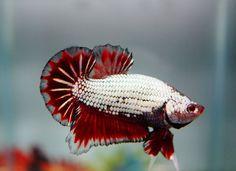 fwbettashmp1393457538 - ***PLATINUM BLACK RED DRAGON***