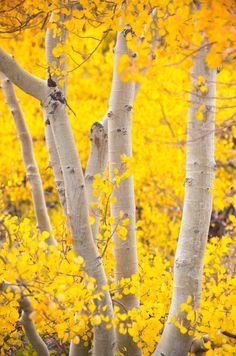***Autumn aspens (Inyo, California) by John Mueller E
