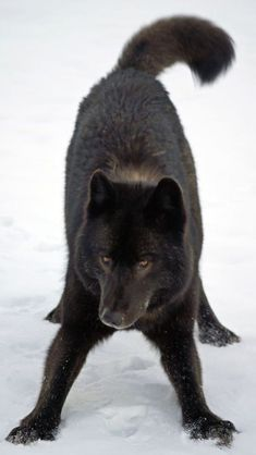 A black wolf named Romeo who used to frequent the Mendenhall Glacier area. Romeo the wolf Beautiful Creatures, Animals Beautiful, Cute Animals, Wild Animals, Baby Animals, Wolf Spirit, My Spirit Animal, Wolf Pictures, Animal Pictures