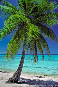 Coconut Palm tree in Rangiroa, French Polynesia ~