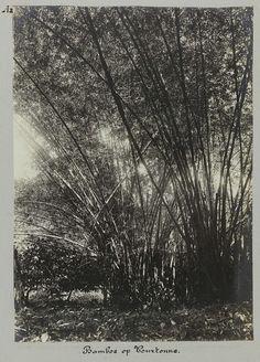 Bamboe op Tourtonne, toegeschreven aan Hendrik Dooyer, 1906 - 1913