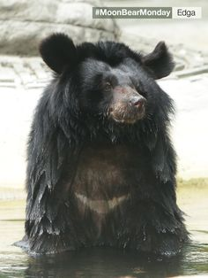 Last October, Edga could have required the removal of her gall bladder due to the irreparable damage caused by invasive bile extraction. But she is a lucky one. The very next day after her recent medical, she returned to her bear house where she spent the day in her grassy enclosure and lounging about in the pool. Hope Edga's story will inspire you not to give up hope this #MoonBearMonday.