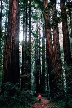 Redwoods in Big Sur