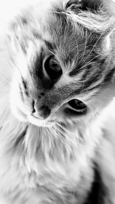 Pretty Cats, Beautiful Cats, Animals Beautiful, I Love Cats, Crazy Cats, Animals And Pets, Cute Animals, Matou, Cat Photography