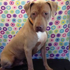 Max | Adopted Dog | Los Angeles, CA | Pit Bull Terrier ... |Weimaraner Lab Pit Mix