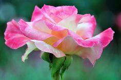 Rose adagio   by Tortie Cat