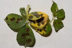 Diplocarpon Rosae чёрная пятнистость роз фунгициды профилактика http://www.roza.guru/