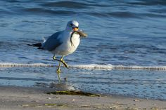 Ring-billed Gull With Its Catch Photograph - Ring-billed Gull With Its Catch by Debra Martz