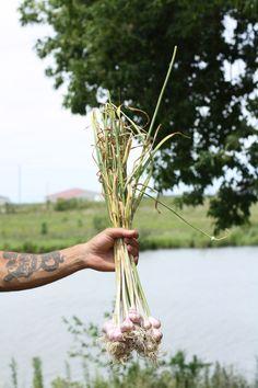 Garlic Harvest 2016
