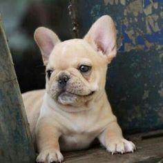 Henry, a French Bulldog Puppy
