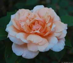 'Lady Roberts' Rose Photo