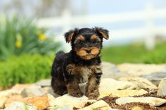 Lightning - Yorkshire Terrier Puppy for Sale in Gordonville, PA - Yorkshire Terrier - Puppy for Sale Yorkshire Terrier Puppies, Puppies For Sale, Small Dogs, Animals, Yorkies, Lightning, Club, Beautiful, Pet Dogs