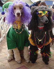 Mardi Gras Krewe of Barkus I Love Dogs, Puppy Love, Cute Dogs, Poodle Cuts, Mardi Gras Carnival, Whippet, Standard Poodles, French Poodles, Dog Breeds