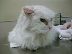 Longhair, white cat, A98868,Found 12/13, Wolfe and Dartshire Way