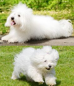 The Bolognese is a small breed of dog of the Bichon type. Fluffy Dog Breeds, Toy Dog Breeds, Fluffy Dogs, Small Dog Breeds, Best Family Dog Breeds, Family Dogs, Hypoallergenic Dog Breed, Dog Breed Info, Best Dogs For Families