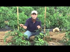 Great video on staking tomato plats with a stick and fabric strips. Love his info on varieties. He said this is too labor intensive for sprawling cherry tomatoes but good for beefsteak types. Also said to remove the leaves below the fruit you harvest. Staking Tomato Plants, Tomato Pruning, Veg Garden, Tomato Garden, Garden Beds, Growing Tomatoes, Growing Vegetables, Green Tomatoes, Cherry Tomatoes