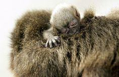 A baby titi monkey with mom..!