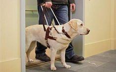 盲導犬として訓練されるイヌの種類は、ドーベルマンやジャーマン・シェパードなど、いくつかあるけれど、なんといっても多いのはラブラドール・レトリバーとゴールデン・レトリバーだ。