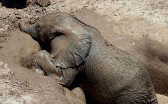 Yavru filin ağlatan mücadelesi