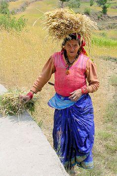 woman farmer harvesting wheat, India