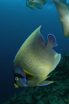 Angelfish #ocean  We love angelfish........miss our saltwater aquarium.  My husband kept the cleanest most beautiful tanks I've ever seen.  Our 55 hex got a small pinhole and that was the end of 20 years of keeping fish.  We will again someday.