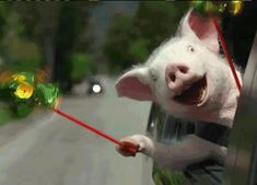 Find GIFs with the latest and newest hashtags! Search, discover and share your favorite Funny Pig GIFs. The best GIFs are on GIPHY. This Little Piggy, Little Pigs, Funny Videos, Gif Silvester, Photo Humour, Gif Humour, Funny Animals, Cute Animals, Gato Gif