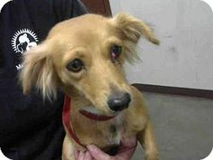 Pictures of A3849847 a Chihuahua /Dachshund Mix for adoption in Phoenix, AZ who needs a loving home.