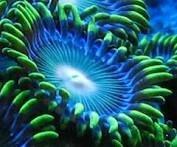 Zoanthid, generally marine creatures, often found on coral reefs.