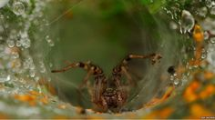Large orb weavers, such as this labyrinth spider (Agelena labyrinthica), reach maturity in late summer so the biggest specimens can be seen at this time of year. The species earned its name from the labyrinth of tunnels it builds from funnel-shaped webs.