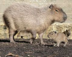 Cutest carbon copy ever. Capybaras own a piece of my heart (which they would chew and use as bedding, sure).