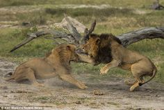 White Wolf : Saved... for now: Cecil the lion's cubs are being protected by his BROTHER