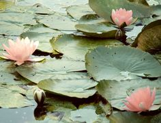 lily pads at Giverny