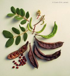 Greece by a Greek: Carob Tree, the unknown tree of the Mediterranean